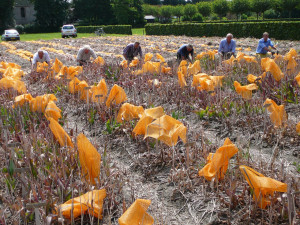Volunteers dig the precious bulbs by hand.